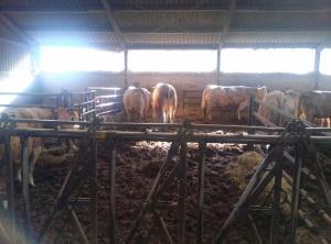 De vleeskoeien bij de familie Arkema, donderdag 25 februari. Waarnemingsopdracht.