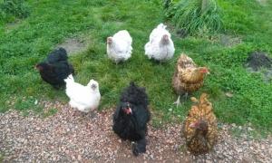 Kippen in de Fruittuin van West: nergens bang voor